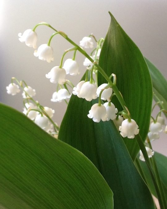 May is Lily of the Valley month